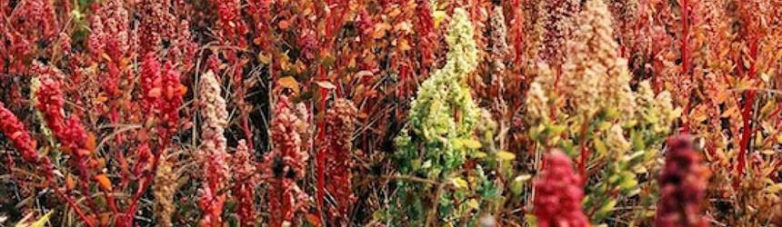 Il boom di vendita della quinoa